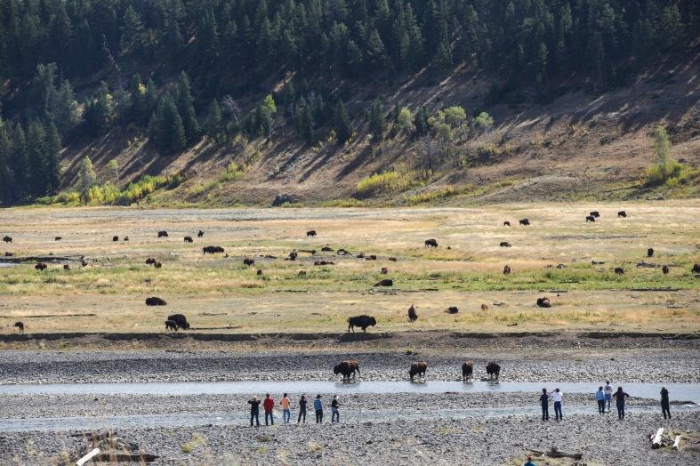 2016-10-16-blog-yellowstone-roadtrip-bison