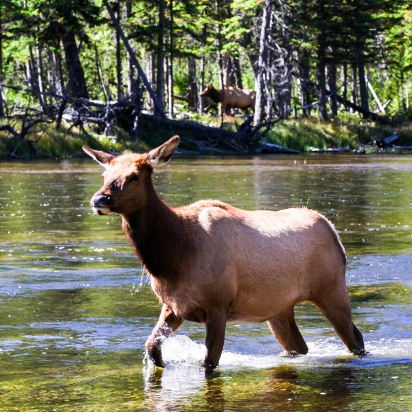 2016-10-16-blog-yellowstone-roadtrip-elk