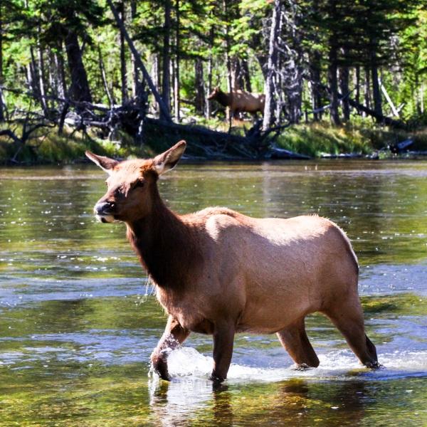 2016-10-16-blog-yellowstone-roadtrip-elk
